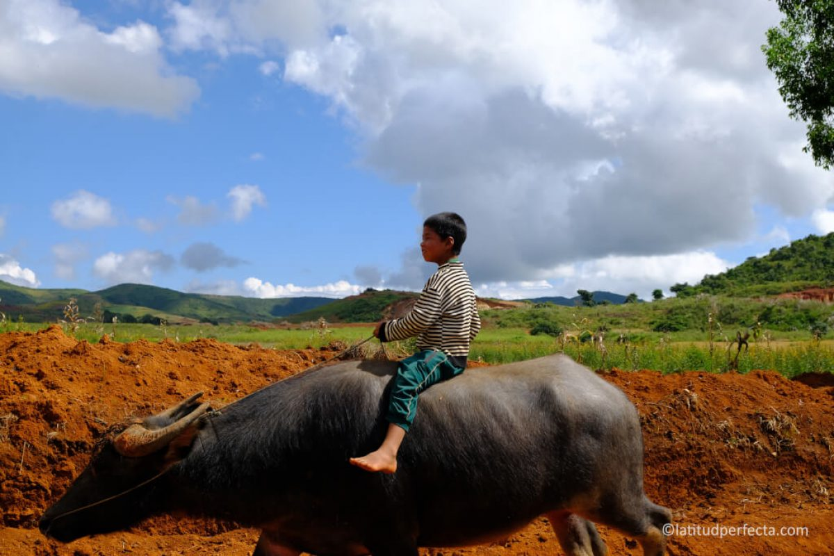 water-buffalo-heho. Imagen Por:
