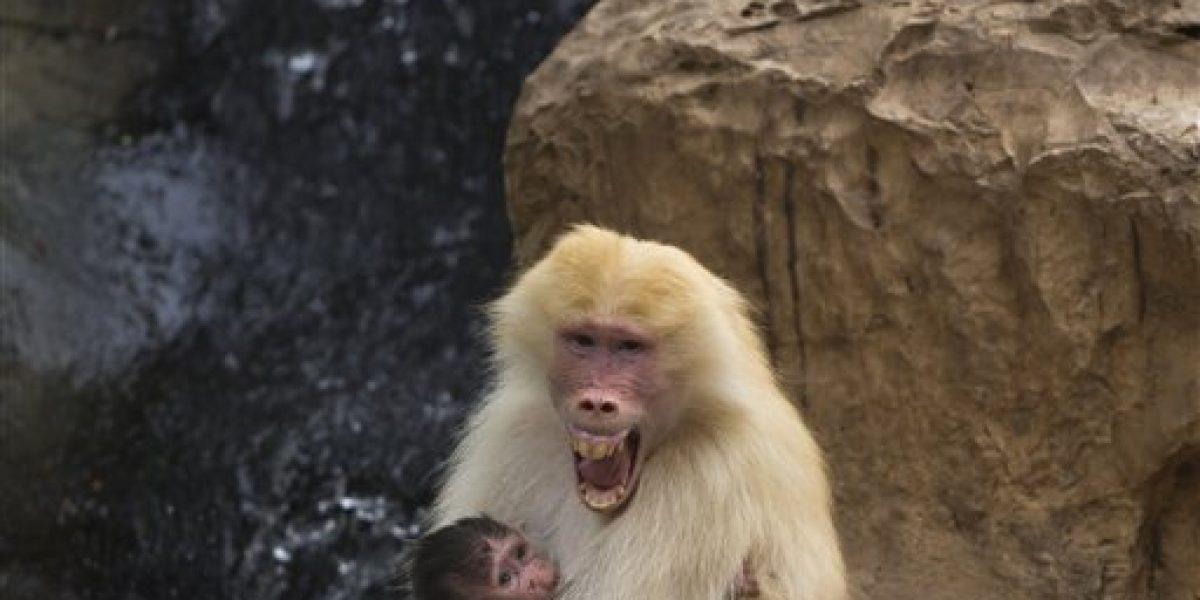 Gritos de babuinos pueden tener secretos del lenguaje humano
