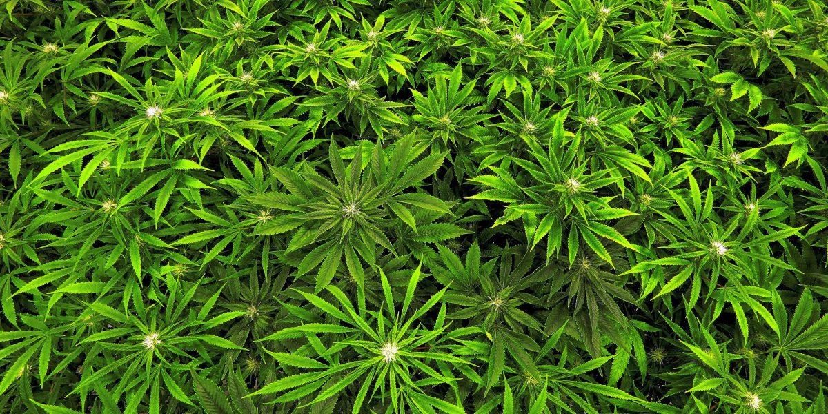 Personas acuden a feria de salud en busca de orientación sobre el cannabis medicinal