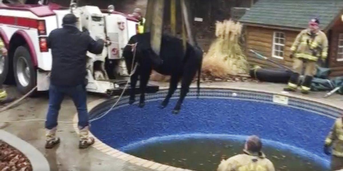 Oklahoma: rescatan a vaca que quedó atrapada en una piscina