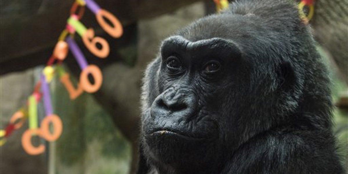 Muere la gorila Colo