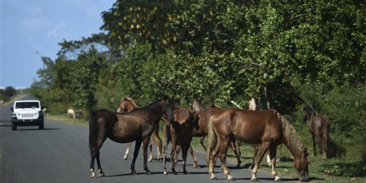 Vieques confronta crecimiento desmedido de caballos