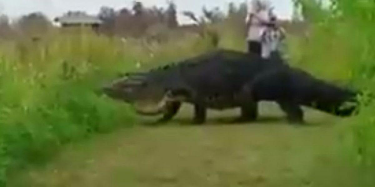 Video de enorme caimán atrae visitantes a reserva en Florida