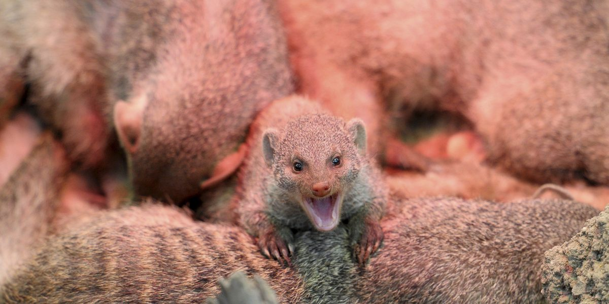 Autoridades alertan sobre peligro de mordeduras de mangostas