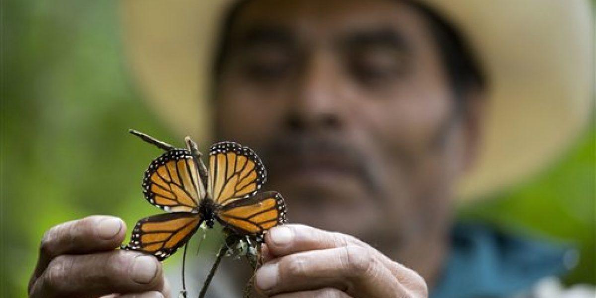Cae 27 % número de mariposas monarca en México