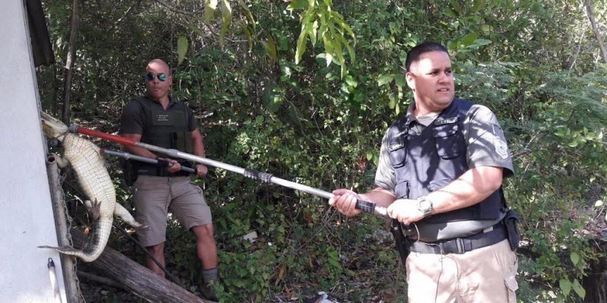 Capturan caimán durante allanamiento en Barceloneta