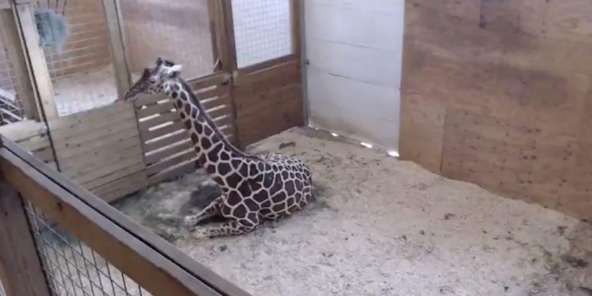 Zoológico en Nueva York transmite en vivo nacimiento de jirafa