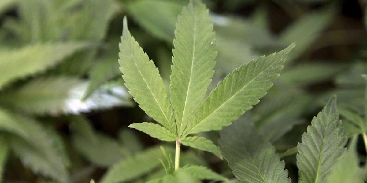 Mostrarán en la isla maquinaria para extracción de cannabis medicinal