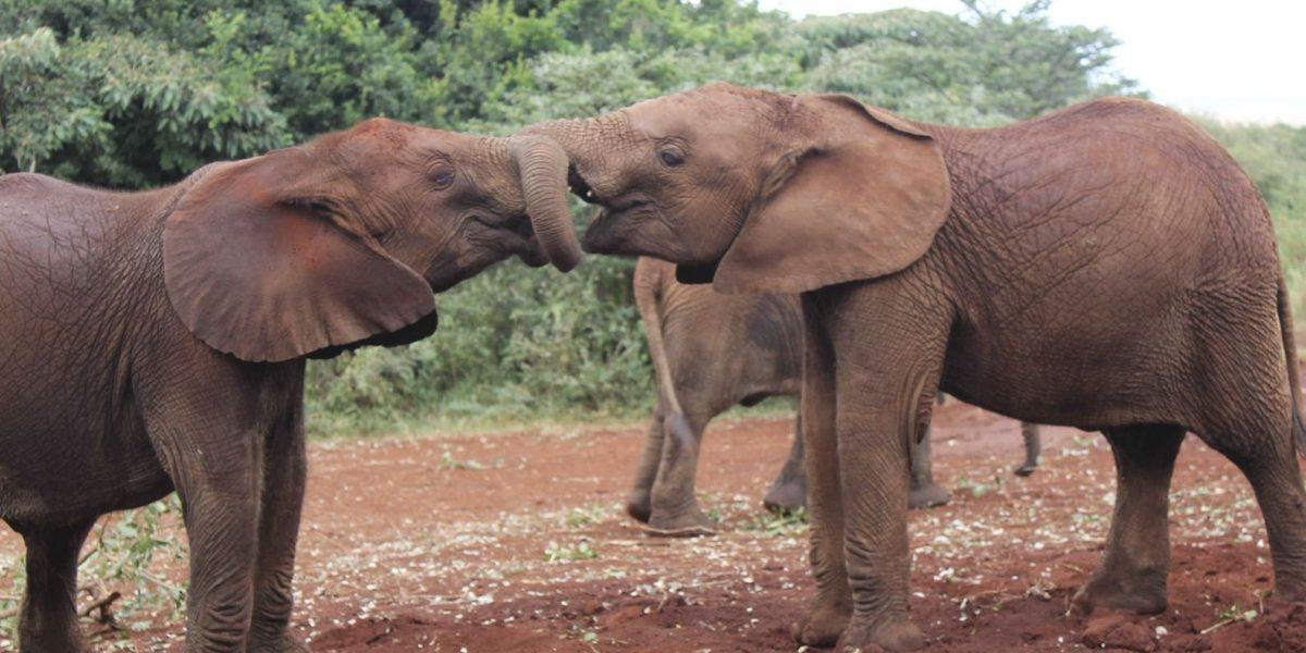 Elefante salvaje de África podría ser el mamífero que menos duerme