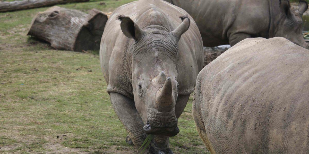 Le disparan en la cabeza a un rinoceronte en zoológico de Francia
