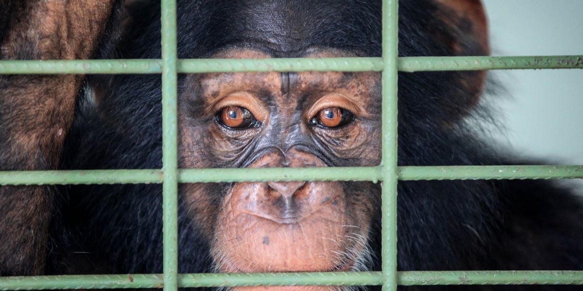 Nueva vacuna oral contra el ébola cura a chimpancés