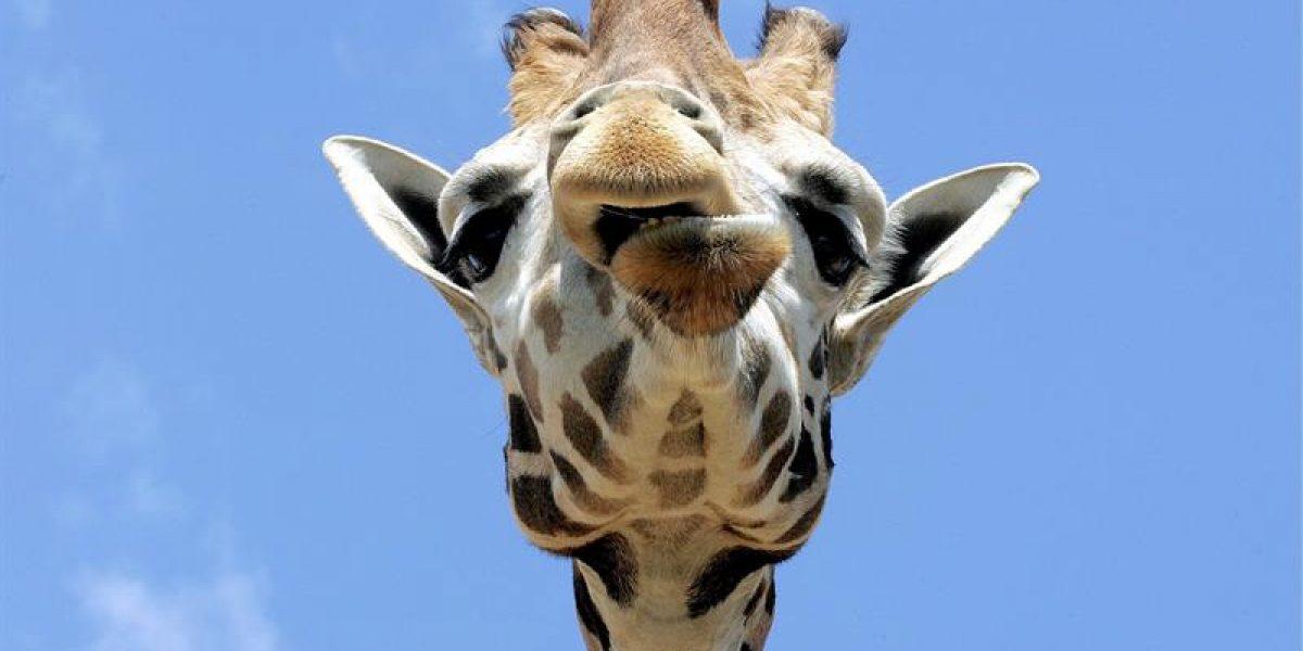 El embarazo de la jirafa April desata la locura en las redes