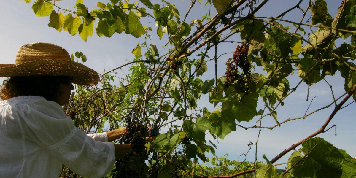 Puerto Rico se convierte en centro de cultivos transgénicos