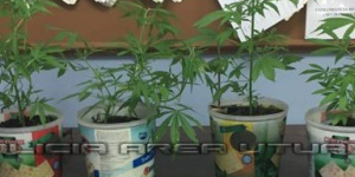 Agentes incautan plantas de marihuana y detienen a joven en Utuado