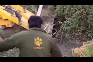 Matan aplastado a un tigre en India cuando intentaban rescatarlo