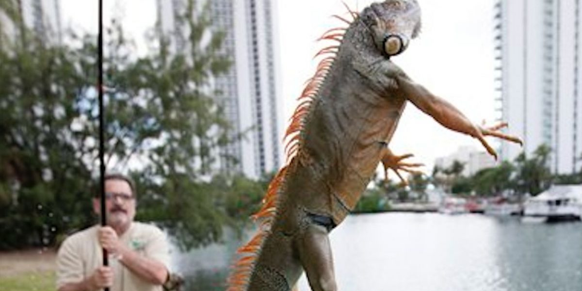 Iguanas llegan a la Florida